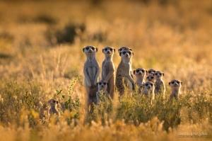 family-of-meerkats